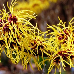 Hamamelis hydrolaat (100 ml)